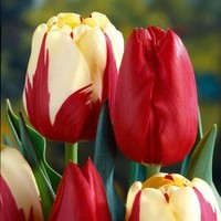 Martha Stewart Living, Tulip World Expression & Tulip Kingsblood Dormant Bulbs (48-Pack), 70374 at The Home Depot - Mobile