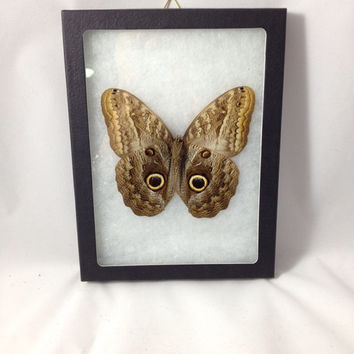 Taxidermy - Real Owl Butterfly Pinned and Mounted in Riker Mount