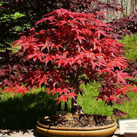Heirloom Japanese Red Maple - 10 Seeds T003