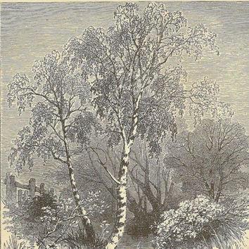 Silver Birch Original Engraving Bookplate from 1882 Chatterbox Book