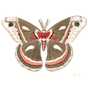 "Moth Art Print - Archival Fine Art Reproduction of Original Cecropia Moth Illustration, Brown and Red Moth Print; Butterfly Art 8.5"" X 11"""