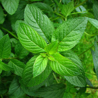 Peppermint Cooking Herb, Seeds, Hot & Cold Drinks, Baking, 25 Seeds