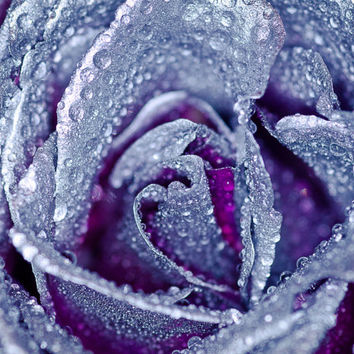 Antoinette Silver Purple Rose Photography Print | Flower Nature French Zen Garden | Home Bedroom Bathroom Office Fine Decor