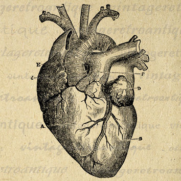 Digital Heart Diagram Graphic Image Medical Printable Anatomy Antique Download Vintage Clip Art for Transfers HQ 300dpi No.118