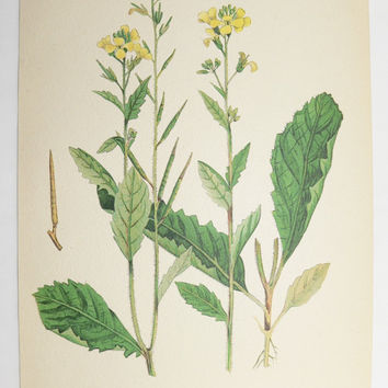 Wild Mustard Charlock 1923 Vintage Botanical Print, Garden Herb Print, Vintage Art Print to Frame, Wall Art for Groupings, Gift for New Home