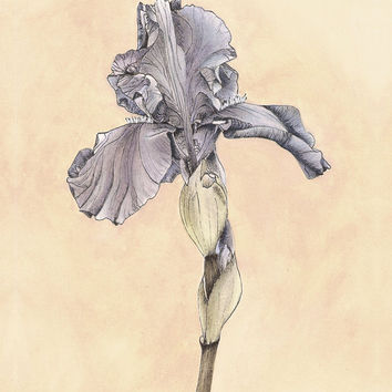 Iris Botanical Print - Vintage Look Purple Flower Art 8x10