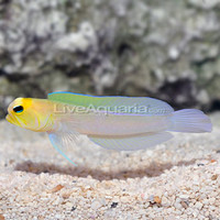 Saltwater Aquarium Fish for Marine Aquariums: Jawfish, Yellowhead