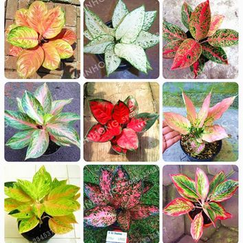 50 Pcs/Bag Aglaonema 'Pink Dud' Beautiful Mosaic Plants Perennial Evergreen Trees Flower bonsai Houseplant Home Garden Potted