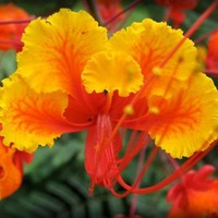 Orange Flower Photography Print - Mexican Bird of Paradise Photo