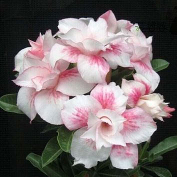 Unique  Light Pink Double Flowers Red Stripe Plants Balcony Potted Desert rose Flowers  Seeds Adenium Obesum Seeds 1PCS