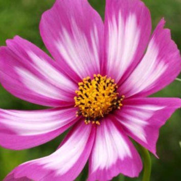 The Dirty Gardener Cosmos Bipinnatus Painted Cosmos Wildflowers