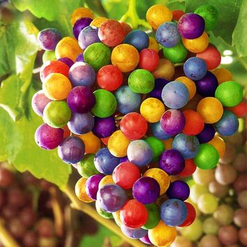 New Varieties Colourful Non-GMO Super Sweet Grapes Fruits Seeds Home Garden Trees And Farm Bonsai Pot Seeds 120PCS