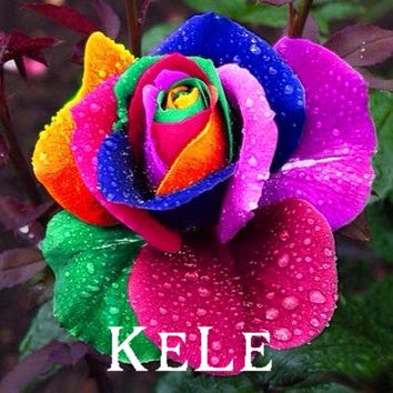 New Fresh Seeds! 100 Seeds/pack Rare Holland Rainbow Rose Seeds Flower rare rainbow rose flower seeds Free Shipping