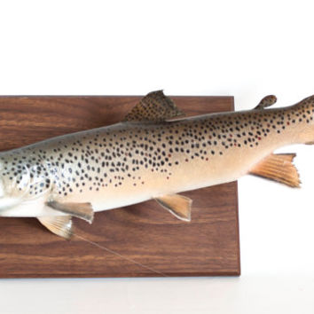Vintage Real Taxidermy Mounted Brown Trout Fish On Plaque Fly Fishing Mancave Hunting Fishing Home