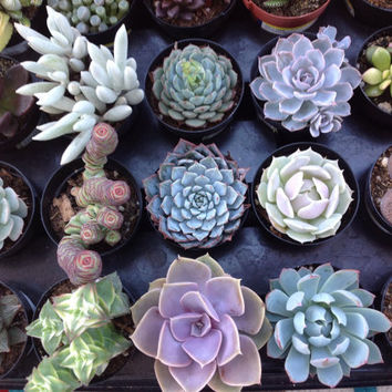 Succulent Plant, Beautiful succulent group of 8 healthy,  colorful plants.