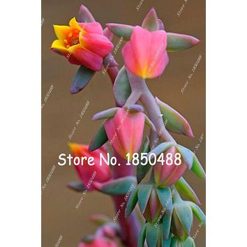 Hot Fresh Seeds Home Garden Plant 10 Pieces Rare Sempervivum Succulent Seeds flowers for room,bonsai potted plants * Gift