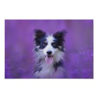 Black And White Border Collie Poster