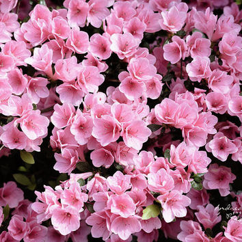 Mini azaleas #floral by Andrea Anderegg Photography