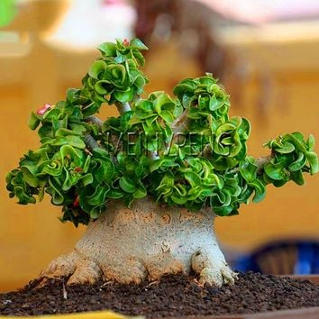 Promotion!1 Pcs A Bag Desert Rose plant Indoor Plants Flowers Bonsai Mini Potted Tree Home Garden Rare Flower plant Adenium Obes