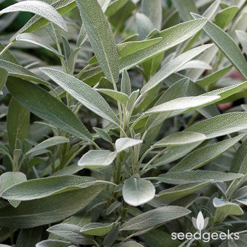 Sage, Broadleaf Herb Heirloom Seeds - Non-GMO, Open Pollinated, Untreated