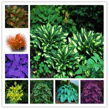 50 pcs rare pack Hosta Seeds Perennials Lily Flower White Lace DIY Home Garden Ground Cover Plant free shipping