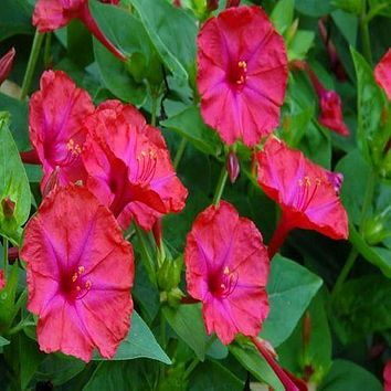 Four O Clock Pink Flower Seeds (Mirabilis Jalapa) 50+Seeds
