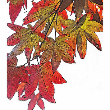 "Japanese Maple in Fall No. 3 - Autumn - Red - Orange - 8 x 10"" Fine Art Photo - Wall Decor - For Him - For Her"