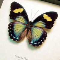 Real Framed Female Euphaedra Rezia Ceres Forester Butterfly 8291F