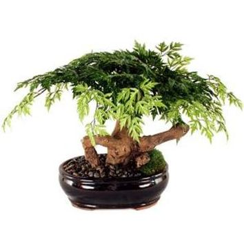 Forever Green Art Aralia Bonsai Artificial Bonsai Tree