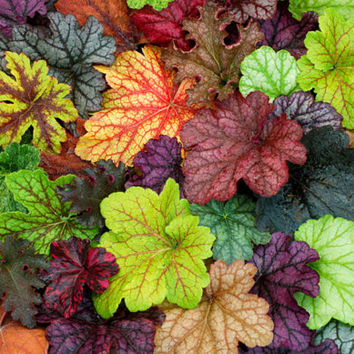 10 Heuchera Flower Seed (coating) | Coral Flower Bells | Colorful Leaf Balcony Decor | Bonsai Plant DIY Home Garden Balcony Container