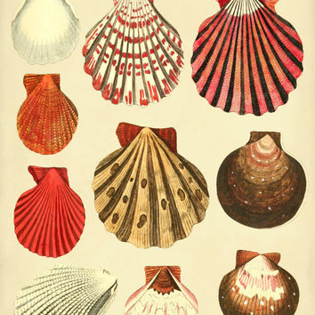 Colorful Oyster Shells Scientific Illustration 12 x 16  Art Print Poster Reproduced From Circa 1783 British Text