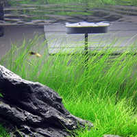 200 Aquarium Grass Moss Seeds | Aquatic Plant Easy Planting Ornamental Growing Fish Pool Tank Gardening Decor DIY Landscaping
