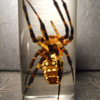 Arachnophobia Huge Yellow Garden Spider in a Jar Wet Specimen Taxidermy