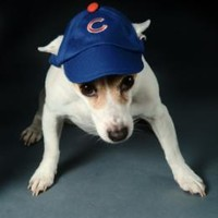 Chicago Cubs Hat - XSmall at barker & meowsky a paw firm since 1998 carries dog clothes, dog accessories, dog carriers, dog collars, dog toys, dog beds and dog treats