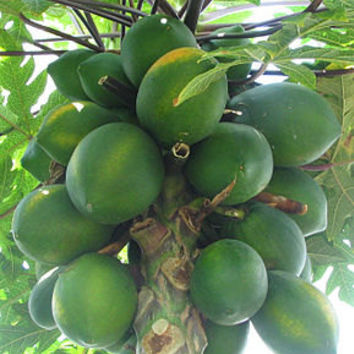 Carica papaya seeds - Dwarf papaya - tropical tree - exotic seeds