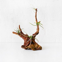 40% SALE Air Plant Driftwood Garden Beach Combed from Mexico with Clump Cluster Plants