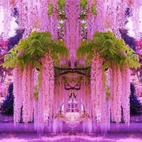10 Pink Wisteria Flower Seeds | Fragrant Gorgeous Sinensis Hot Selling Heirloom Vine Tree Seed for DIY Home Garden Plants Decor Bonsai