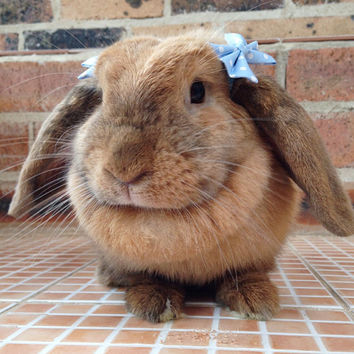 Baby blue polka dot bows for bunnies, pet rabbit bows, pet rabbit accessories, pet rabbit clothing