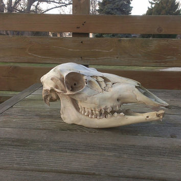 Almost Perfect Deer Skull with Jawbone - Real Animal Bone  - Real Skull - Taxidermy Oddities