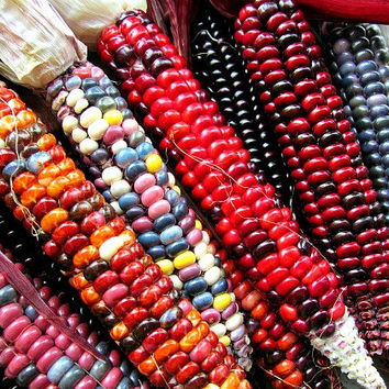 Painted Mountain, heirloom dent corn, 30 rare seeds, non GMO, rainbow colors, ornamental, cold climate, early harvest, gorgeous ornamental