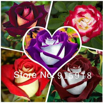 Flower seeds 1000 pcs rose seeds 5 Different Colors Rare Osiria Rose, per package 200pcs Home & Garden+ Mysterious Gift