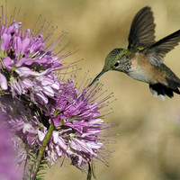 Rocky Mountain Bee Plant, Attracts Hummingbirds, Wildflower, 25 Seeds
