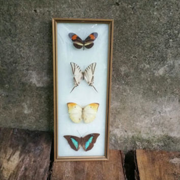 Vintage Framed Butterflies Morpho Butterfly Convex Glass Made in Brazil