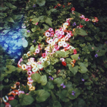 "Diana Mini Film Photograph | Candy in the Ivy | 8x8"" Print"