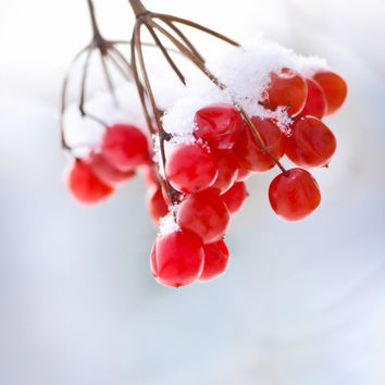 Winter Photography, Red & White, Red Berries, Snow, Holiday Cards, Christmas in July, Home Decor