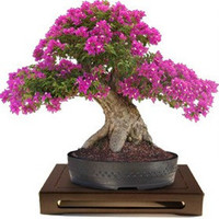 Heirloom 100 Seeds Lagerstroemia Crape Myrtlette Crepe Myrtle Dwarf Shrubs Bonsai Red Bulk Seeds B0084
