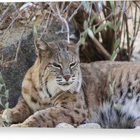 Closeup Of Bobcat Canvas Print
