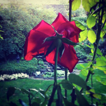 Red Rose | Garden | Botanical Photography | Red | Green | Light | Oregon | Fine Art Photography | Romantic | Home Art