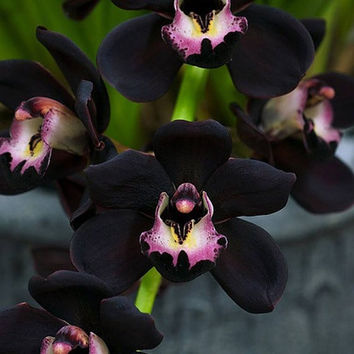 120 Black Cymbidium Faberi Unique Orchid Flower Seeds Home Garden Flowering Plants