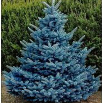 New Arrival Home Garden Plant 50 Seeds Evergreen Colorado Blue Spruce Picea Pungens Glauca Tree Seeds Free Shipping